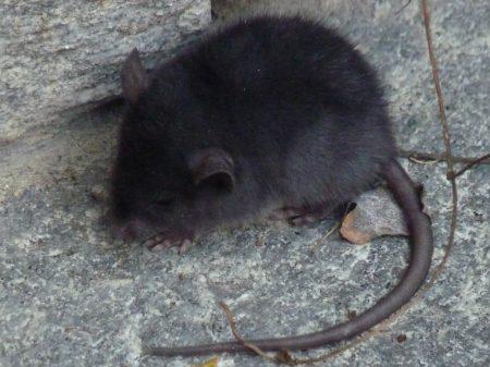 """Die """"Palmen-Ratten"""" am Lago Maggiore"""