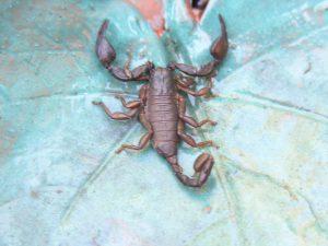 05_1_italienischer-skorpion