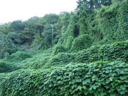 Die invasiven Neophyten in Ponte