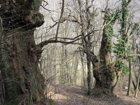 Die Edelkastanie – einst der Brotbaum der Südabdachung