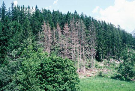 Der Borkenkäfer als Waldbauer