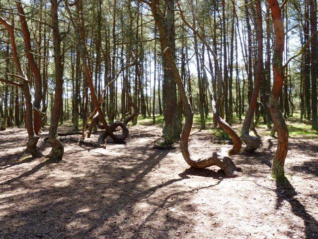 Die tanzenden Bäume auf der Kurischen Nehrung