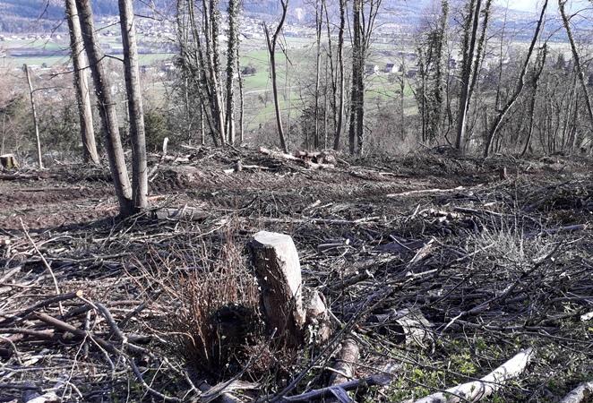 Eschenwelke-Jagd und kein Ende