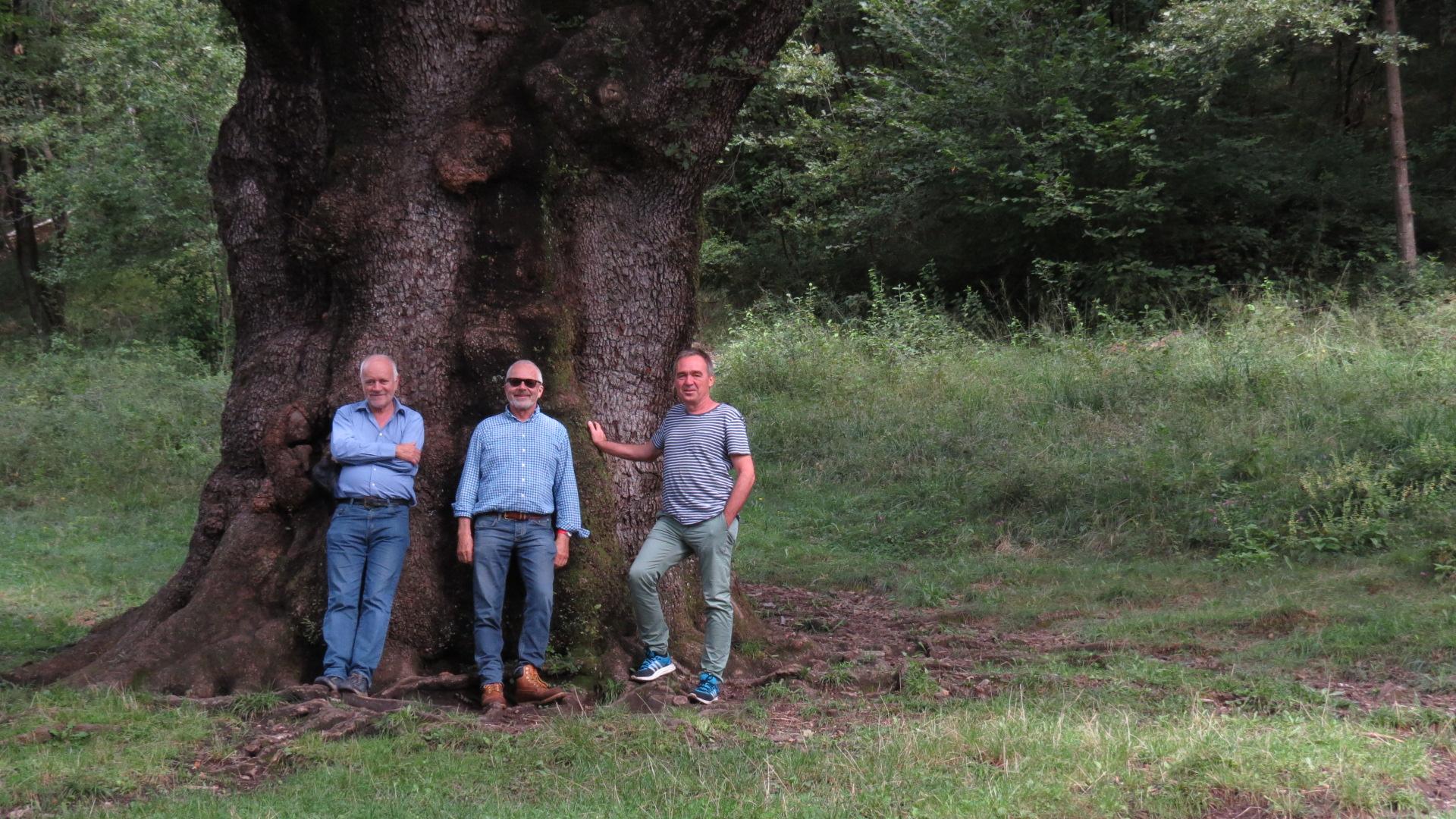 Rogolone und Rogolino – zwei starke Eichen nahe von Menaggio (Comersee)