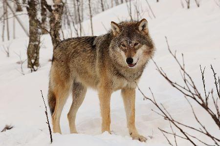 Mein Lieblingstier ist der Wolf