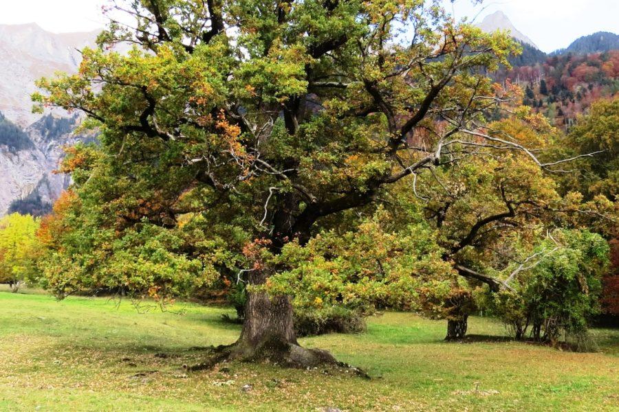 Meine Lieblingsbäume – der Eichenhain ob Maienfeld (GR)