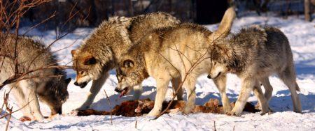 Mit Wörtern macht man Politik, zum Beispiel beim Wolf