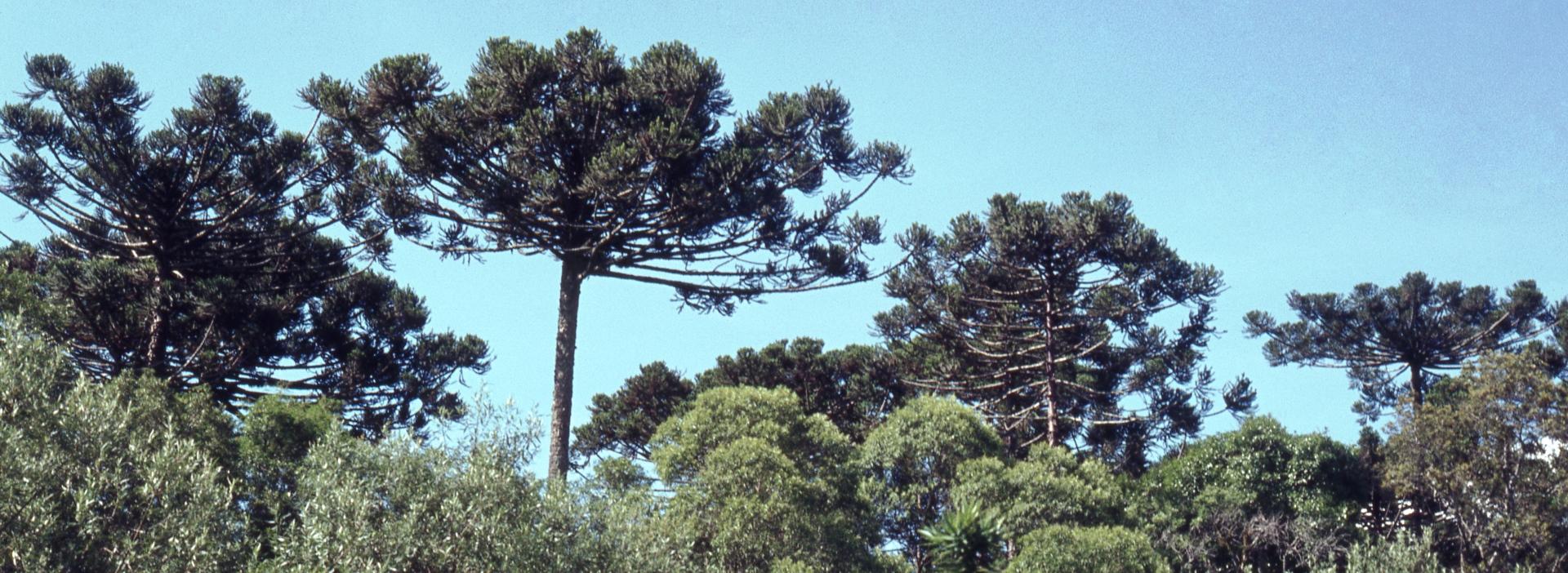 Auf Araucaria-Exkursion in Südbrasilien-Argentinien-Chile 1981